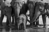 Carlos Leroux - Elephants
